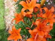 橙色百合灌木 免版税库存照片