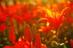 橙色百合的领域 免版税库存照片