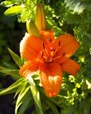 橙色百合花卉生长在庭院里 黄花菜 庭院的植物 库存照片