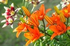 橙色百合花和芽在反对被弄脏的背景的庭院里在一个晴天 图库摄影