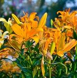 橙色百合花 库存照片