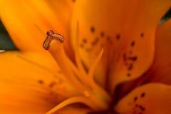橙色百合雄芯花蕊 免版税库存图片