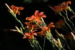 橙色百合(百合属植物bulbiferum) 免版税库存照片