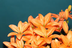 橙色百合 库存照片