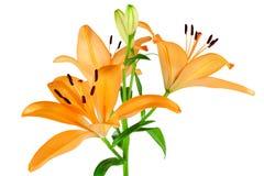 橙色百合 免版税库存照片