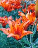 橙色百合 库存图片