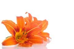 橙色百合 免版税库存图片