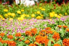 橙色百日菊属在庭院里 免版税库存照片