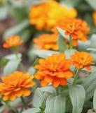 橙色百日菊属花园 库存图片