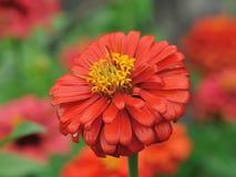 橙色百日菊属花在庭院里 免版税库存图片