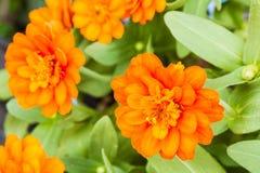橙色百日菊属花在庭院里 免版税库存照片