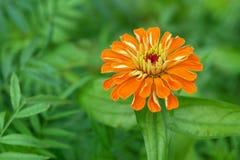 橙色百日菊属花 库存图片