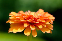 橙色百日菊属 免版税库存照片