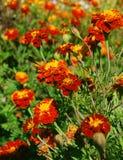 橙色的万寿菊 免版税库存照片