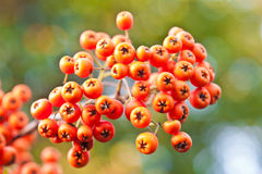 橙色的浆果 免版税库存照片