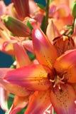 橙色的百合 图库摄影
