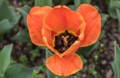 橙色的郁金香 库存照片
