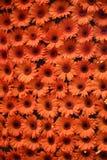 橙色的雏菊 库存图片
