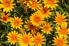 橙色的雏菊 免版税库存照片