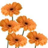 橙色的gerberas 图库摄影
