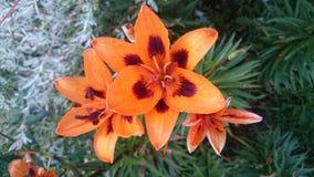橙色的lillies 图库摄影