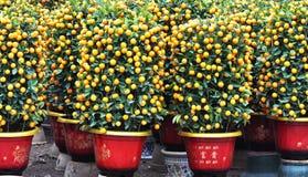 橙色盆的结构树 库存图片