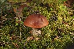 橙色盖帽牛肝菌蕈类 库存图片