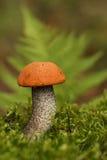 橙色盖帽牛肝菌蕈类。 免版税库存图片