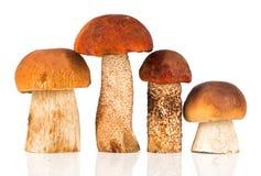 橙色盖帽牛肝菌蕈类和porcini蘑菇 库存照片