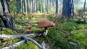 橙色盖帽牛肝菌蕈类在森林里 库存照片
