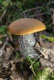 橙色盖帽牛肝菌蕈类蘑菇在森林里 库存图片
