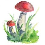 橙色盖帽牛肝菌蕈类蘑菇paited与水彩 免版税图库摄影