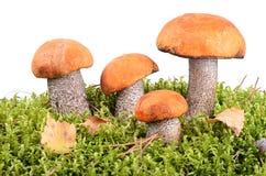 橙色盖帽牛肝菌蕈类 库存照片