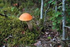 橙色盖帽牛肝菌 库存照片