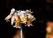 橙色盾状体orbiculata花,一般叫作猪` s耳朵或圆生叶的肚脐麦芽酒,是一棵南非多汁植物 库存图片