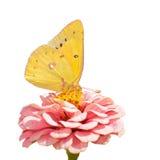 橙色硫磺, Colias eurytheme蝴蝶 免版税库存图片