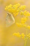 橙色硫磺(Colias eurytheme)蝴蝶 免版税库存图片