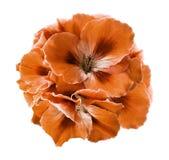 橙色秋海棠花束在白色的隔绝了与裁减路线的背景 没有阴影的特写镜头 免版税库存照片
