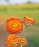 橙色秸杆花 免版税图库摄影