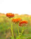 橙色秸杆花 库存图片