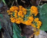 橙色粘液菌 库存图片