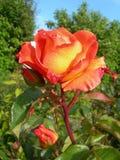 橙色罗斯在庭院里 库存照片