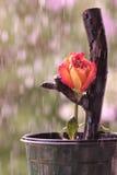 橙色罗斯在雨中 库存照片