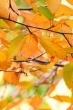 橙色美丽的秋叶色,黄色,红色,绿色和P 库存照片
