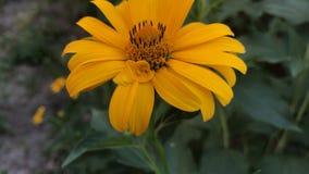 橙色美丽的花在庭院里增长 股票视频