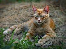 橙色老虎鲭鱼平纹农厂猫放松 库存图片