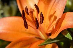 橙色老虎lilly关闭  免版税库存图片