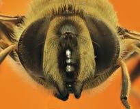 橙色背景的欧洲人Hoverfly 库存图片