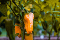 橙色胡椒 免版税图库摄影