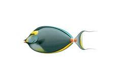 橙色脊椎在白色背景(Naso lituratus)隔绝的Unicornfish 免版税图库摄影